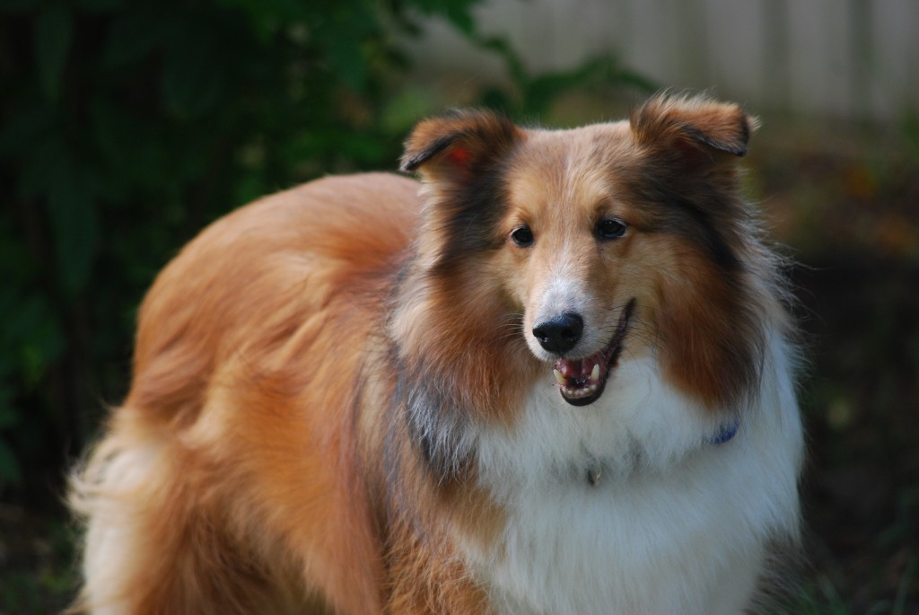 Animals___Dogs_Sheltie_breed_dog_red_color_049640_